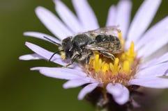 一只小地球蜂收集花蜜 库存照片
