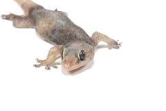 一只小壁虎蜥蜴 图库摄影