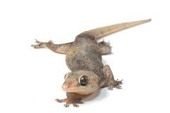 一只小壁虎蜥蜴 库存照片