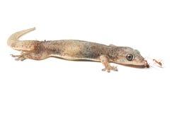 一只小壁虎蜥蜴 免版税库存图片