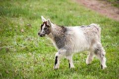 一只小孩山羊在草吃草 免版税库存图片