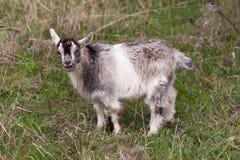 一只小孩山羊在草吃草 免版税图库摄影