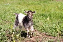一只小孩山羊在草吃草 库存图片