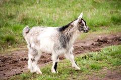 一只小孩山羊在草吃草 免版税库存照片