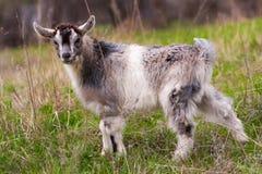 一只小孩山羊在草吃草 库存照片