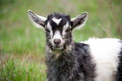 一只小孩山羊在草特写镜头吃草 图库摄影