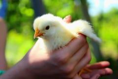 一只小小鸡 免版税库存照片