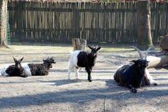 一只小山羊在地面上的牧群中站立 库存照片