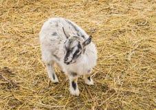 一只小山羊的画象 免版税库存照片
