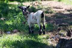 一只小山羊 库存照片