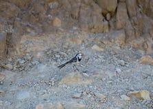 一只小岸燕子张开它的在一块小石头的额嘴  图库摄影