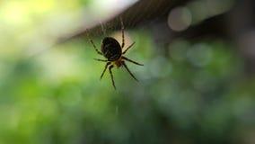一只小欧洲蜘蛛的宏观特写镜头在它的网的 库存照片