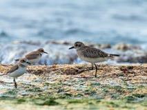 一只小海鸥沿在地中海的岸的shallows走寻找牺牲者 免版税库存图片