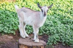 一只小灰色山羊在一绿色background_的一个树桩站立 免版税库存照片