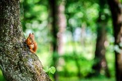 一只小灰鼠坐树并且咬坚果 图库摄影
