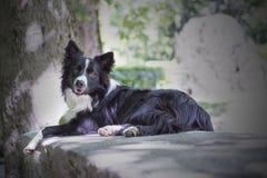 一只小狗博德牧羊犬的画象在一张石桌上的 免版税库存照片