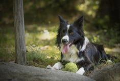 一只小狗博德牧羊犬的画象在森林里 库存图片