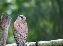 一只小猎鹰坐树的大树枝 免版税库存图片