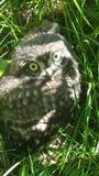 一只小猫头鹰,相当害怕 库存图片