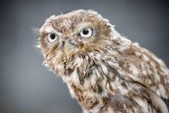 一只小猫头鹰的特写镜头 库存图片