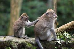 一只小猴子清洗毛皮与一只大短尾猿的手坐一块石头在密林 库存图片