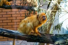 一只小猴子金黄狮子绢毛猴 库存照片