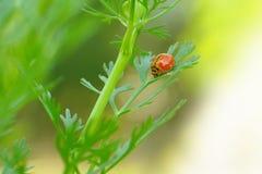 一只小甲虫(Micraspis褪色)在香菜叶子 库存照片