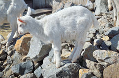 一只小白色山羊在石头站立 图库摄影