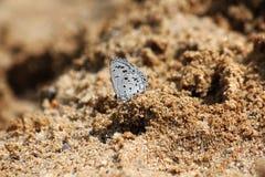 一只小白色蝴蝶在沙子 免版税库存图片