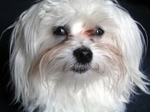 一只小白色马耳他狗 免版税库存照片