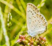 一只小白色蝴蝶的特写镜头与褐斑病的 库存照片