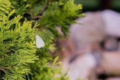 一只小白色蝴蝶的特写镜头 免版税库存图片