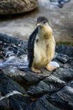 一只小的企鹅 图库摄影
