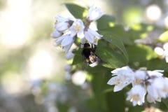 一只小的土蜂的特写镜头在一束美丽的白花的 视图 库存图片