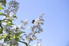 一只小的土蜂的特写镜头在一束美丽的白花的 视图 免版税库存照片