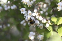 一只小的土蜂的特写镜头在一束美丽的白花的 视图 免版税库存图片