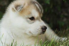 一只小的多壳的狗小狗的画象 免版税图库摄影