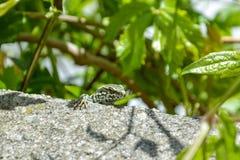 一只小的好奇蜥蜴坐岩石 库存照片