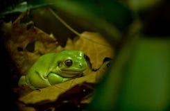 一只小的密林青蛙 库存图片