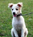 一只小的小狗栓与链子 免版税库存图片