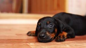 一只小的小狗的特写镜头 爬行在地板上的狗品种短毛猎犬 股票录像