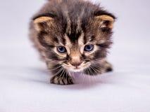 一只小的小猫偷偷地走由敌人决定 在狩猎的掠食性动物 克洛 免版税图库摄影