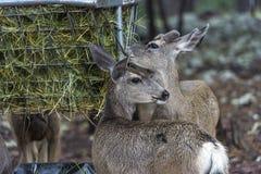 一只小的小鹿 免版税图库摄影