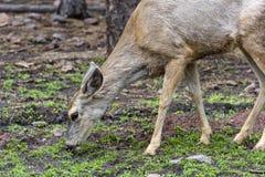一只小的小鹿 免版税库存图片