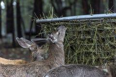 一只小的小鹿 免版税库存照片