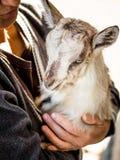 一只小的山羊在妇女的手上 妇女担心sma 免版税图库摄影