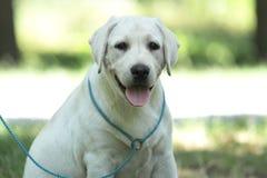 一只小的拉布拉多小狗在公园 库存照片