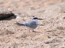 一只小的有顶饰燕鸥-胸骨bengalensis - Thalasseus -沿海滩的步行在地中海的岸查寻的o 免版税库存照片