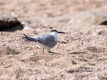 一只小的有顶饰燕鸥-胸骨bengalensis - Thalasseus -沿海滩的步行在地中海的岸查寻的o 库存图片
