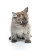 一只小的波斯小猫 库存照片